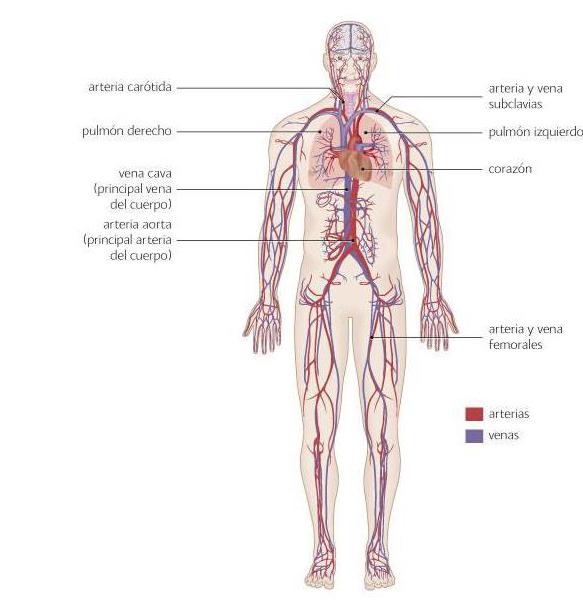 Sistema Cardiovascular Cómo Funciona Bupa