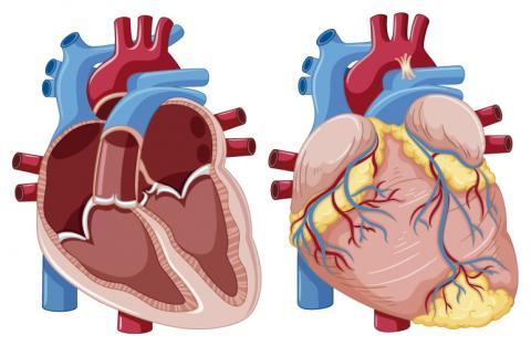 Arterial? la afecta presión ¿El sistema cardiovascular